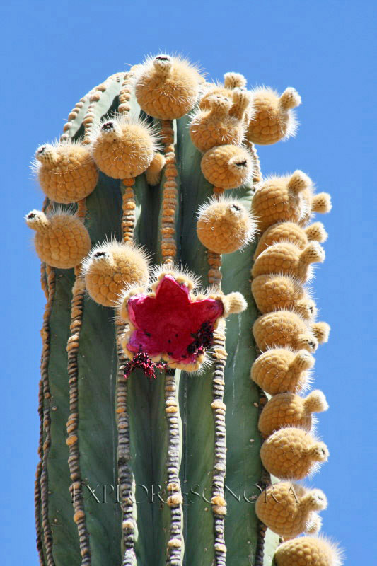 sonora summertime saguaro pitayas and blooms