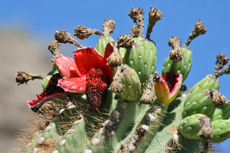 Summertime pitayas on the saguaros in Northern Sonora