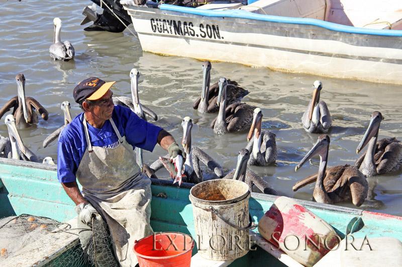 feeding the pelicans in empalme, sonora