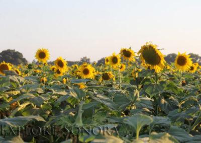 Sunflowers near El Júpare, Sonora, Mexico