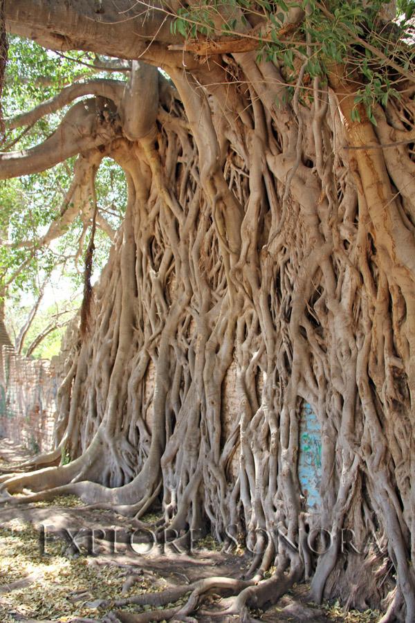 Ficus pertusa Nacapule tree – Navojoa, Sonora