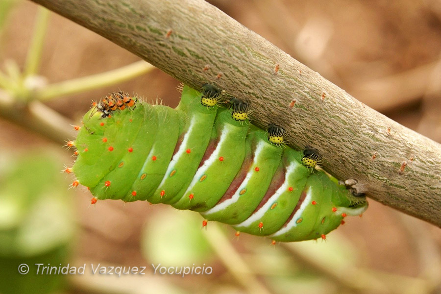 Beautiful caterpillar of the cuatro espejos butterfly. Photo © Trinidad Vazquez Yocupicio