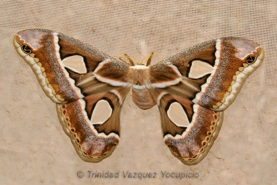 Mariposa cuatro espejos. Foto © Trinidad Vazquez Yocupicio